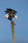 Adult Bald Eagle (Haliaeetus leucocephalus) on top of telegraph post. Bella Bella, British Columbia.