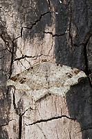 Dunkelgrauer Eckflügelspanner, Macaria alternata, Semiothisa alternaria, sharp-angled peacock, sharp angled peacock, Spanner, Geometridae, looper, loopers, geometer moths, geometer moth