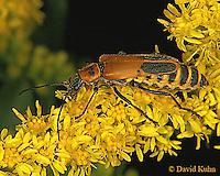 0910-06uu  Goldenrod Soldier Beetles - Chauliognathus pennsylvanicus - © David Kuhn/Dwight Kuhn Photography