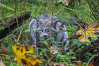 Canada lynx or Canadian lynx (Lynx canadensis).  Northwestern U.S., fall.