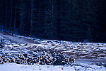 Clear cut boreal forest in winter, Riding Mountain National Park, Manitoba, Canada