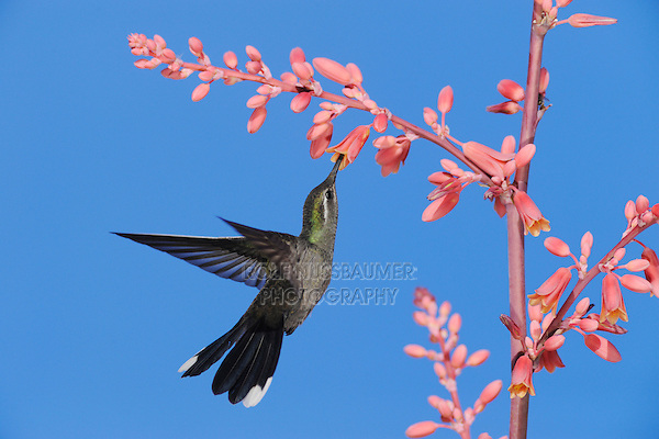 Blue-throated Hummingbird (Lampornis clemenciae), male in flight feeding on Red Yucca (Hesperaloe parviflora), Chisos Basin, Chisos Mountains, Big Bend National Park, Chihuahuan Desert, West Texas, USA