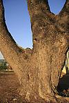 T-147 Aleppo Pine (Pinus halepensis) tree in Migdal Haemek