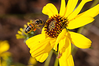 A bee flies towards a brittlebush flower.  The bee's pollen basket is stuffed full of pollen, and the composite flower has about half of its florets open.