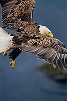 Bald Eagle flying along coastal cliffs, Alaska.