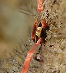 Flat Rock Crab , Percnon planissimum,Anilao; Batangas; Philippines