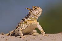 Texas Horned Lizard, Phrynosoma cornutum, adult, Willacy County, Rio Grande Valley, Texas, USA