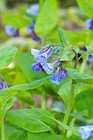 Virginia Bluebells (Mertensia virginica) in spring bloom showing blue flowers