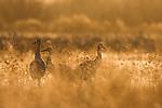 Sandhill Crane (Grus canadensis) trio in reeds at sunrise, Bosque del Apache National Wildlife Refuge, New Mexico