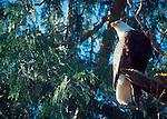 Bald Eagle, Halioeetus leucocephalus, evergreen tree perch, Tofino, British Columbia, Canada, Vancouver Island, west coast, North America,.