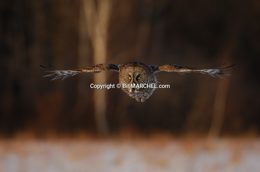 00830-049.03 Great Grey Owl in flight on silent wings over meadow with forest in background.  Raptor, bird of prey.  H7F1