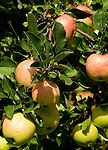 Italy, South Tyrol, Valle di Anterselva, apple tree with fruit