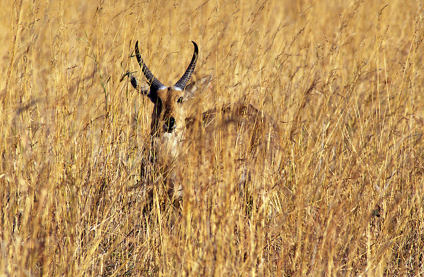 A REEDBUCK (Redunca Arundinum) blends perfectly with the tall grass it lives in - OKAVANGO DELTA , BOTSWANA