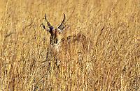 A REEDBUCK (Redunca Arundinum) blends perfectly with the tall grass it lives in - OKAVANGO DELTA , BOTSWANA