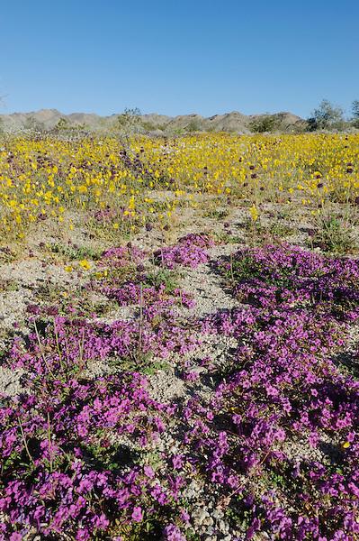 Desert in bloom with Purple Mat (Nama demissum), Parish's Gold Poppy (Eschscholzia parishii), blooming, Joshua Tree National Park, California, USA