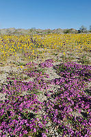 Desert in bloom with Purple Mat (Nama demissum), Parish's Gold Poppy (Eschscholzia parishii), blooming, Joshua Tree National Park, California, USA