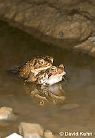 0304-0902  Pair of Toads in Amplexus (Pseudocopulation), Pair of American Toads (Male Tightly Grasping Female) Mating in Temporary Ephemeral Pool of Water,  © David Kuhn/Dwight Kuhn Photography, Anaxyrus americanus, formerly Bufo americanus