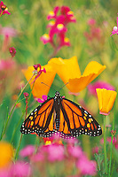 Monarch butterfly (Danaus plexippus) resting among  poppies and phlox.