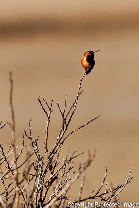 Allen's Hummingbird 4, Upper Newport Bay, CA