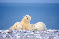 polar bear, Ursus maritimus, mother with cubs resting along the Arctic coast, 1002 area of the Arctic National Wildlife Refuge, Alaska, polar bear, Ursus maritimus