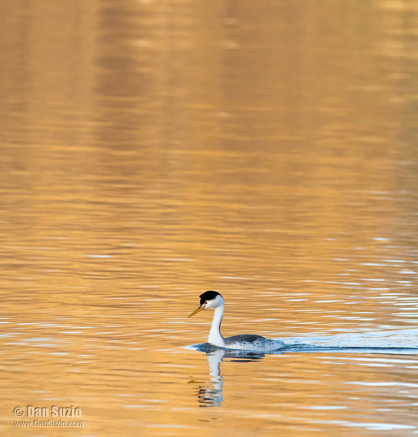 Clark's Grebe, Aechmophorus clarkii, swims on Upper Klamath Lake, Oregon