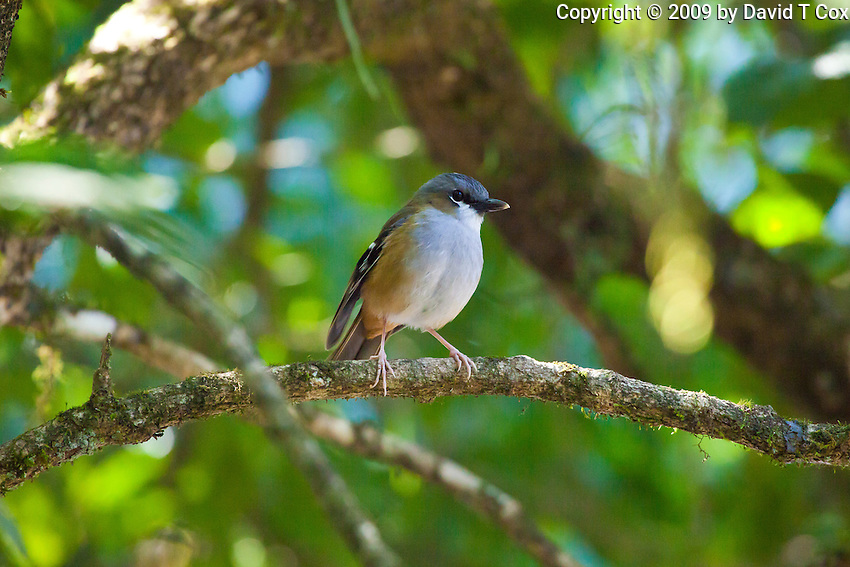 Grey-Headed Robin, Mt Hypipamee  NP, Queensland, Australia