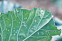 Cabbage whitefly on the underside of a leaf of sprouting broccoli, late September.