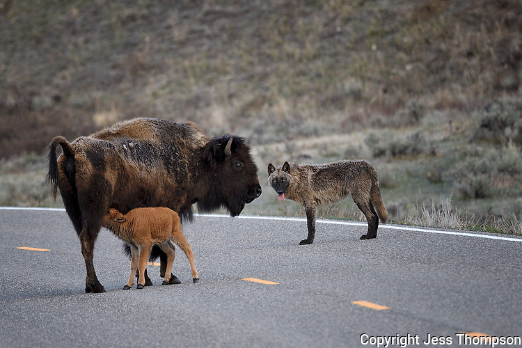 Wolf and Bison with calf on Yellowstone roadway