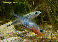 1S53-541z  Threespine Stickleback, male showing gravid female the entrance to his nest, Gasterosteus aculeatus, Freshwater male - Marine female