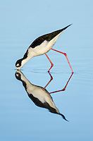 Black-necked Stilt (Himantopus mexicanus) feeding in shallow pond.  California.  Spring.