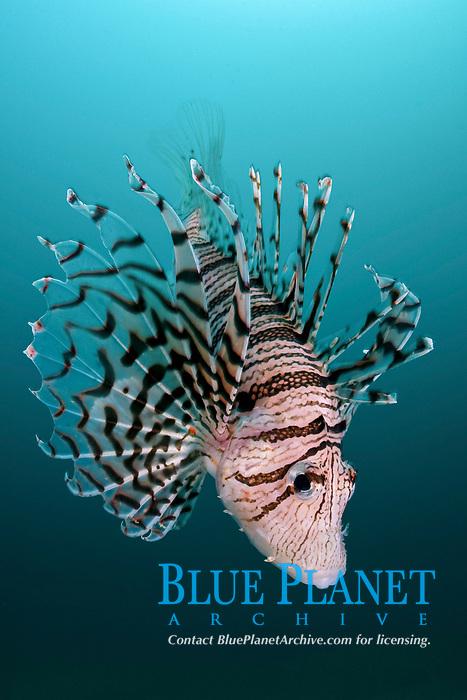 Luna Lion Fish, Pterois lunulata, Seogwipo, Jeju-do, Cheju Island, South Korea, Korea Strait, East China Sea