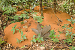 Cockscomb Basin Wildlife Sanctuary, Belize, Central America; a Leaf-Cutter Ant (Atta cephalotes) nest extends across the tropical rainforest floor , Copyright © Matthew Meier, matthewmeierphoto.com All Rights Reserved