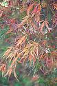 Acer palmatum var. dissectum (Dissectum Atropurpureum Group), late October.