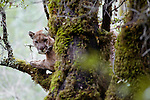 Mountain Lion (Puma concolor) male in tree during attempt to re-collar him, Santa Cruz Puma Project, Uvas Canyon County Park, Santa Cruz Mountains, California
