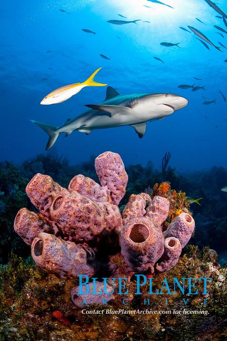 Caribbean reef shark, Carcharhinus perezii, over coral reef, Bahamas, Caribbean Sea, Atlantic Ocean