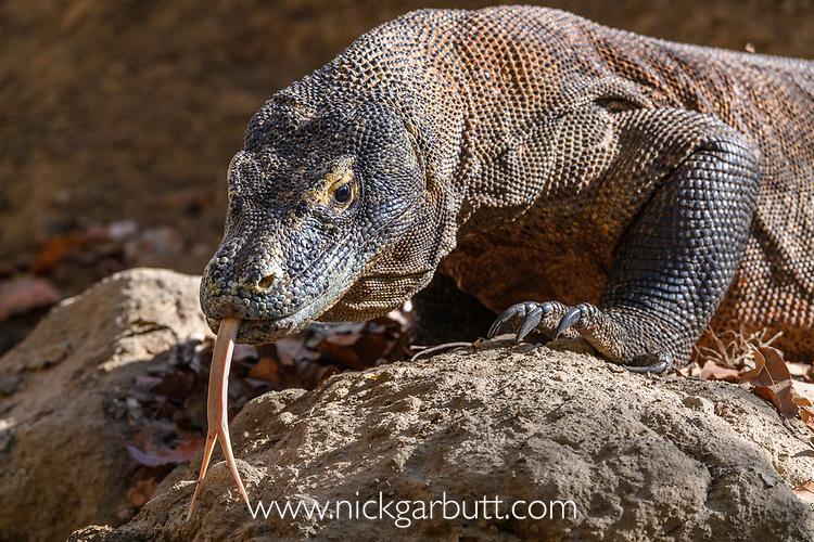 Komodo dragon or Komodo monitor (Varanus komodoensis). Rinca Island, Komodo National Park, Indonesia. Endangered.