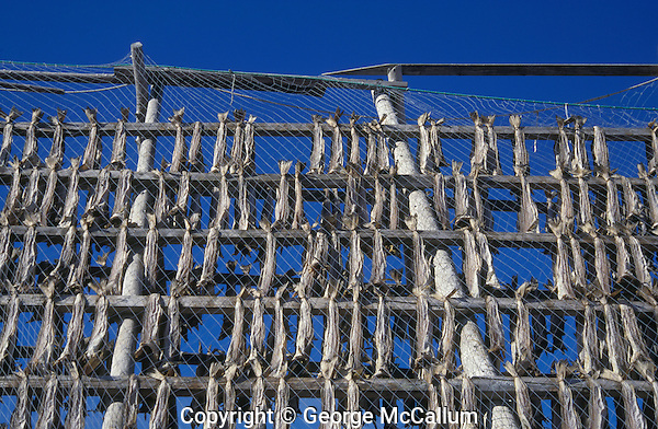 Stockfish hanging to dry on wooden scaffolding. Lofoten, arctic Norway