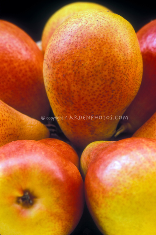 Pear Forelle Pyrus communis Trout pear dessert pear known since 1670, antique cultivar of heirloom fruit