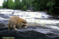 MA25-135z   Raccoon - young raccoon exploring by stream - Procyon lotor