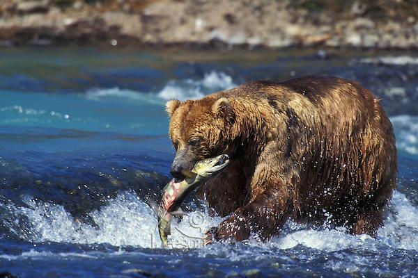 Coastal grizzly bear with salmon (Ursus arctos).