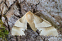 Oak Hawkmoth {Marumba quercus}. Captive, native to Europe and North Africa.