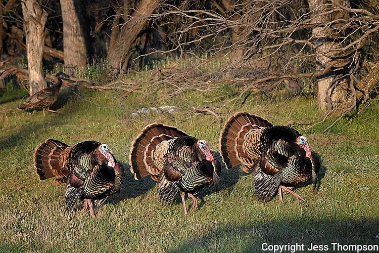 Strutting Turkeys, San Angelo, Texas