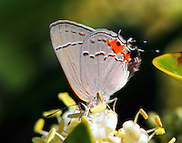 Gray hairstreak in act of rubbing hind wings together