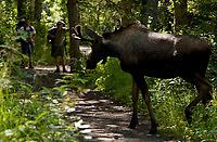 Hikers encounter a young bull moose in Eagle River, Alaska.
