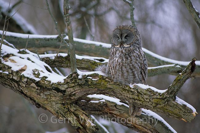 Great Gray Owl (Strix nebulosa) roosting. Ontario, Canada.