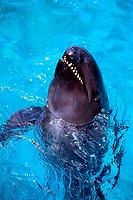 false killer whale, Pseudorca crassidens, Sea Life Park, Oahu, Hawaii (c)