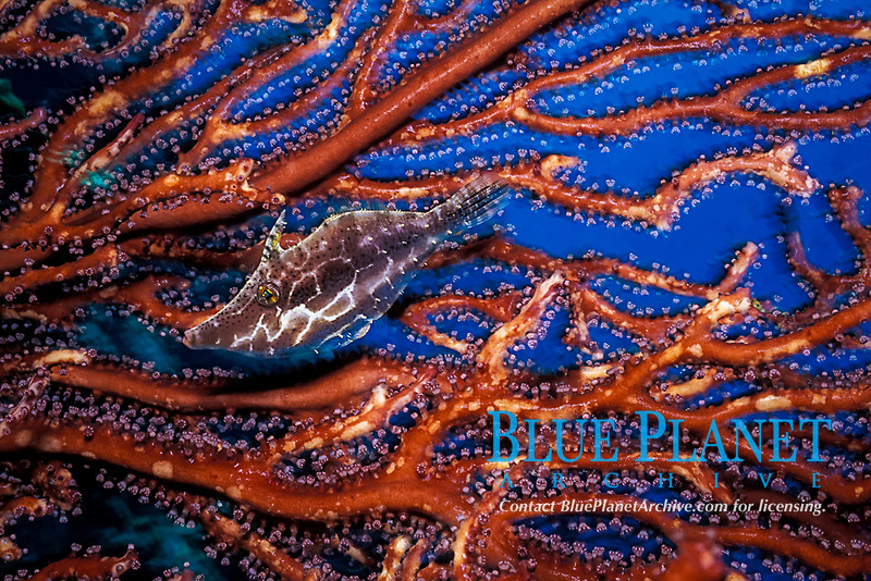 slender filefish, Monacanthus tuckeri, hiding in deepwater sea fan, Iciligorgia schrammi, St. Vincent, Saint Vincent & the Grenadines (Eastern Caribbean Sea)