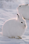 Arctic hares, Ellesmere Island, Nunavut, Canada