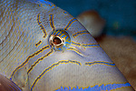 Queen triggerfish close-up of eye and face