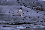 A Gentoo penguin on a rock shore in South Georgia.